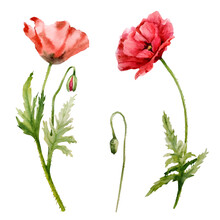 Set Of Watercolor Red Poppies. Hand-drawn Floral Illustration. Red Wildflowers Isolated On A White Background.