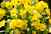 Background From Bright Yellow Pansies Bathing In Sunshine.Summer Flowers,green Leafs.Floral Backdrop With Negaive Space.