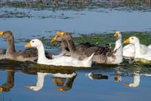 Family Of Geese Swims Lake Irdigi, Chelyabinsk Region, Russia