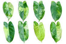 Set Of Philodendron Burle Marx Variegated Leaves Isolated On White Background