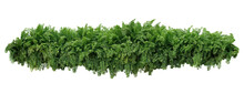 Tropical Foliage Plant Bush, Cascading Hanging Fishtail Fern Or Forked Giant Sword Fern (Nephrolepis Spp.) The Shade Garden Landscaping Shrub Plant Isolated On White With Clipping Path.
