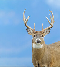Whitetail Buck Deer With Large Antlers - Portrait Against Forested Slopes In The Distant Background - This Is The Natural Background, Not A Photoshopped Composite