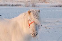 Yakut White Horse Looking At Camera