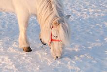 Yakut White Horse Eating