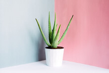 Green Succulent Plant In Pot On Table