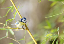 Blue Tit On Bamboo Cane