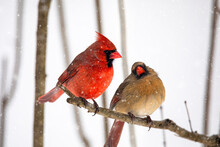 Male And Female Cardinal Birds In The Winter Snow