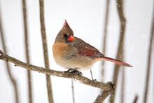 Female Cardinal Bird In Snow