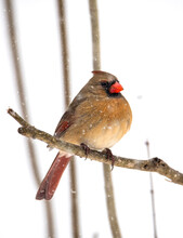 Female Cardinal Bird In The Snow
