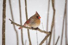 Female Cardinal Bird With Snow Falling