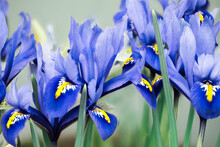 Many Blue And Yellow Iris Reticulata In Flower