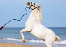 Rearing White Stallion