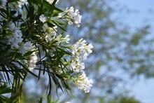White Flower Oleander Blossoms. Apocynaceae Evergreen Shrub.