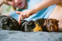 Teenage Girl And Pet Guinea Pigs