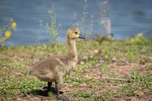 Gosling On The Lake Shore
