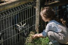 Little Girl Feeding Goats At Farm