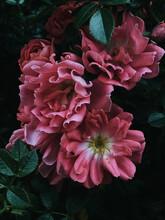 Rose Hip Flowers On A Bush