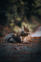 Cute Eastern Gray Squirrel Eating While Sitting On The Road Near The Fore