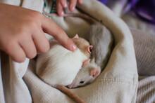 Baby Pet Rats