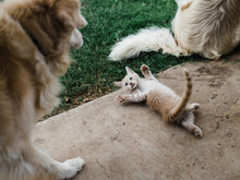 Golden Retriever Dog Meeting Ginger Kitten