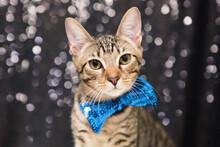Cute Tabby Kitten Wearing Blue Bowtie