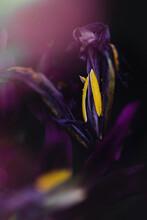 Yellow Pollen And Dark Purple Flower