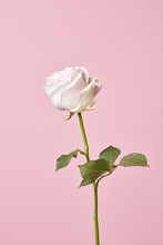 One Beautiful White Rose