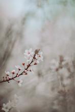 Delicate Scene Of  Cherry Blossoms Close Up