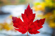 Canadian Red Maple Leaf In Autumn