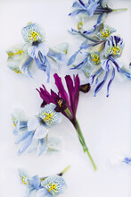Multicolored Iris Flowers In Water