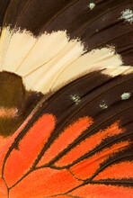 'Red Cracker' Butterfly Wing, Macro
