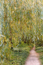 A Dirt Path Through Weeping Willow Trees