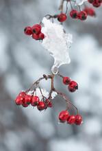 Frozen Hawthorn Berries And Ice. Norfolk, UK.