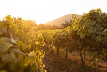 Sunset In The Vineyard In Carmel, California