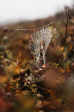 Cobweb In Fall Leaves