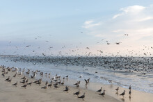 Seagulls And Seabirds On The Beach And In The Ocean In A Feeding Frenzy