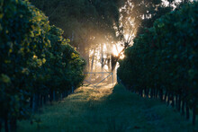Fence Light On A Vinyard In The Morning Glow
