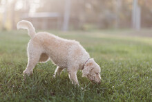 Labradoodle Sniffing Grass