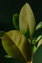 Large Green Foliage Of Tropical Plant