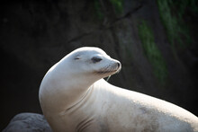 Cape Fur Seals. Wildlife Concept With Sea Lion.