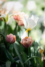 Elegant Tulip Flowers Outdoors