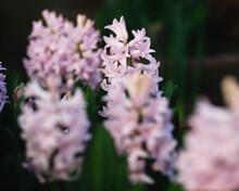 Many Pink Hyacinths