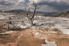 A Dead Tree In Mammoth Hot Springs In Yellowstone National Park, United States