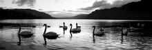 Ullswater Swans Black And White Lake District