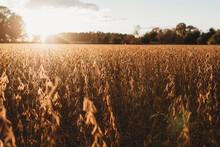 Autumn Bean Fields
