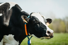 Close Up Of A Holstein Cow