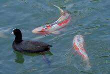 オオバンと錦鯉
