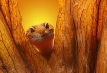 Leopard Gecko On Yellow Background.Leopard Gecko Lizard, Close Up Macro