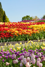 Tulips Growing In Colorful Layers With A Pretty Blue Sky