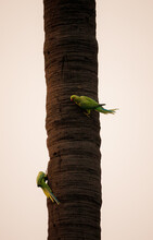 Verticals Hot Of Green Parakeets On A Tree Trunk